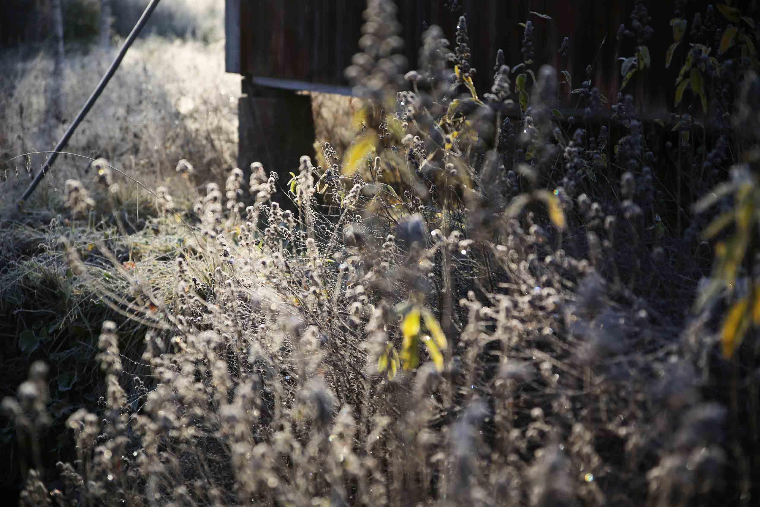 frost-grass