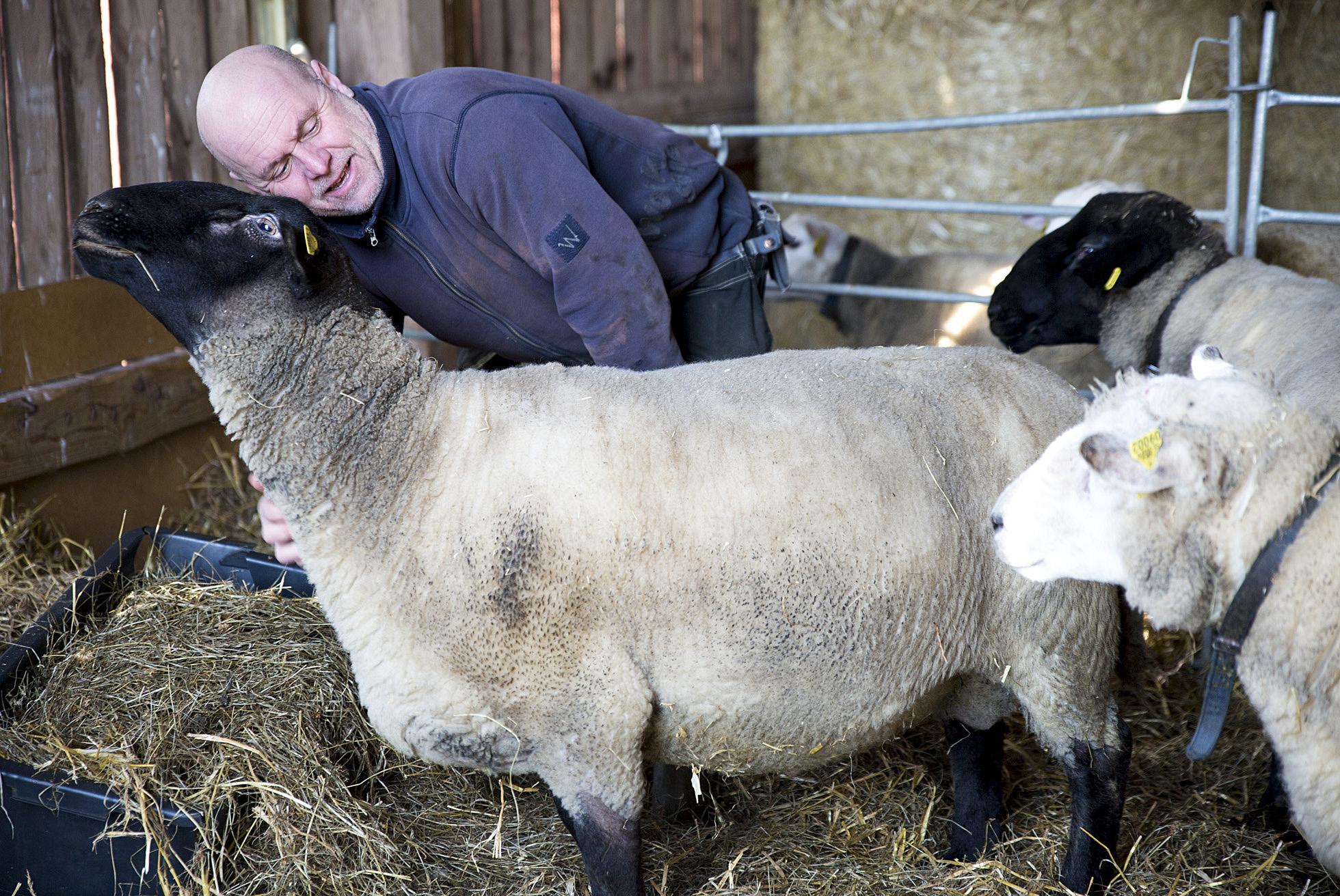cuddly-sheep