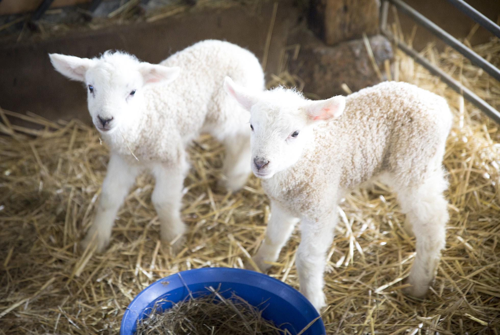 lamb-siblings