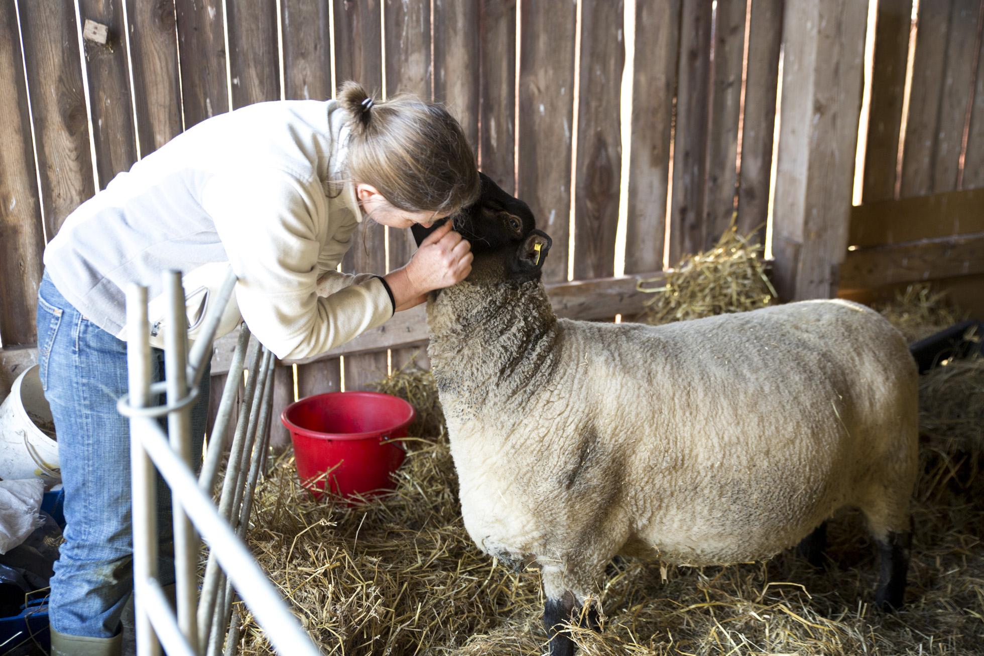 sheep-cuddle
