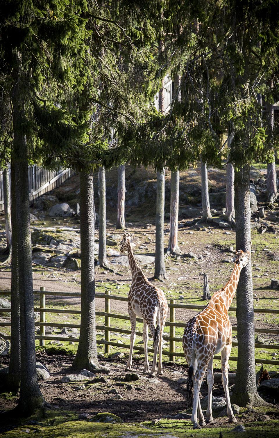 Giraff-kolmården