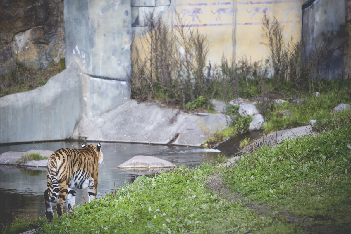 Tiger-kolmården