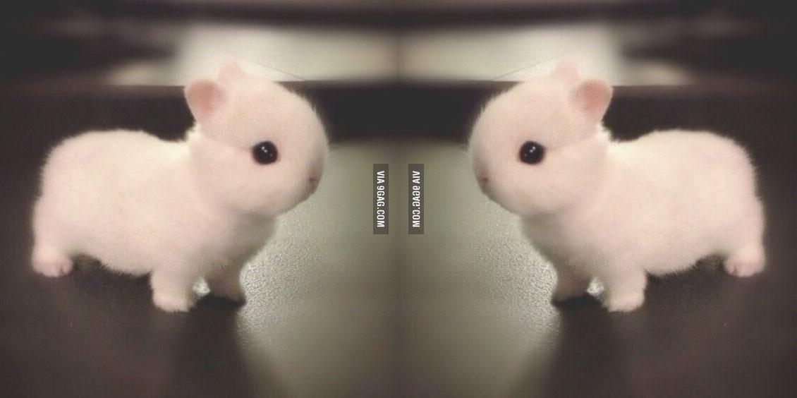 norwegian-netherlands-dwarf-bunny