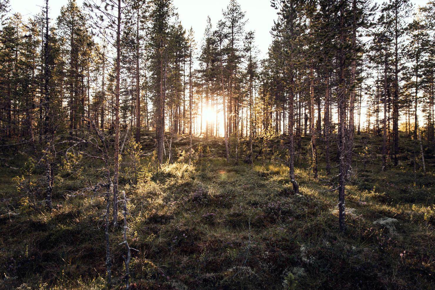 skog-kvallssol
