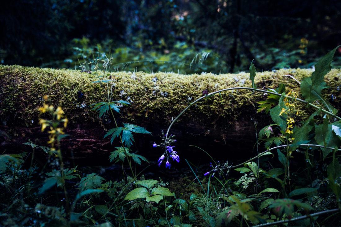 skogens-skonhet