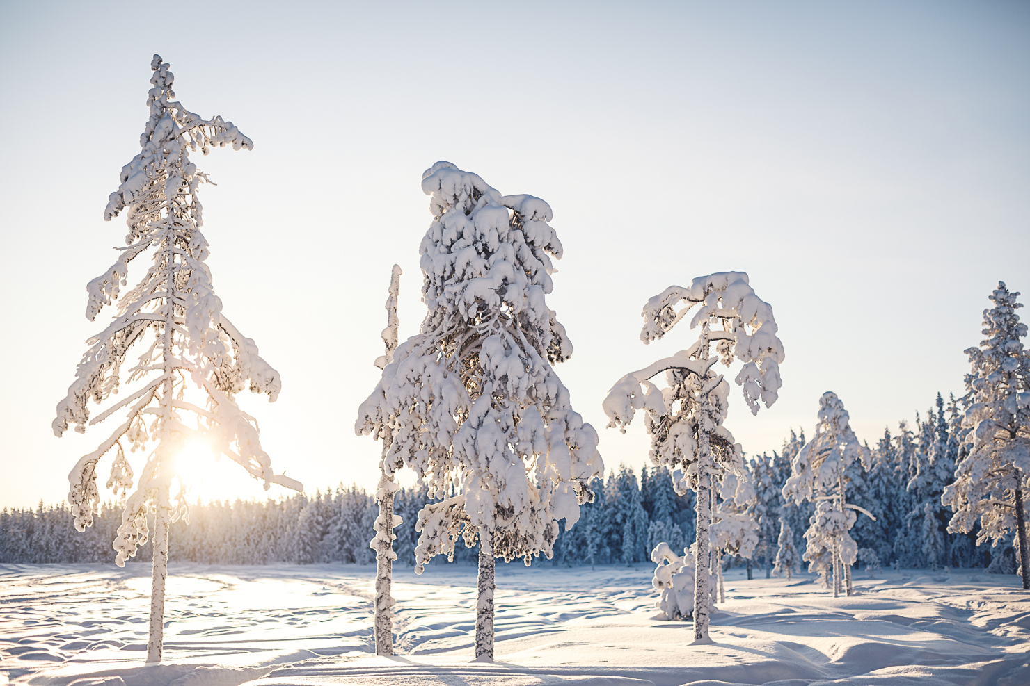 Winter trees in Särna
