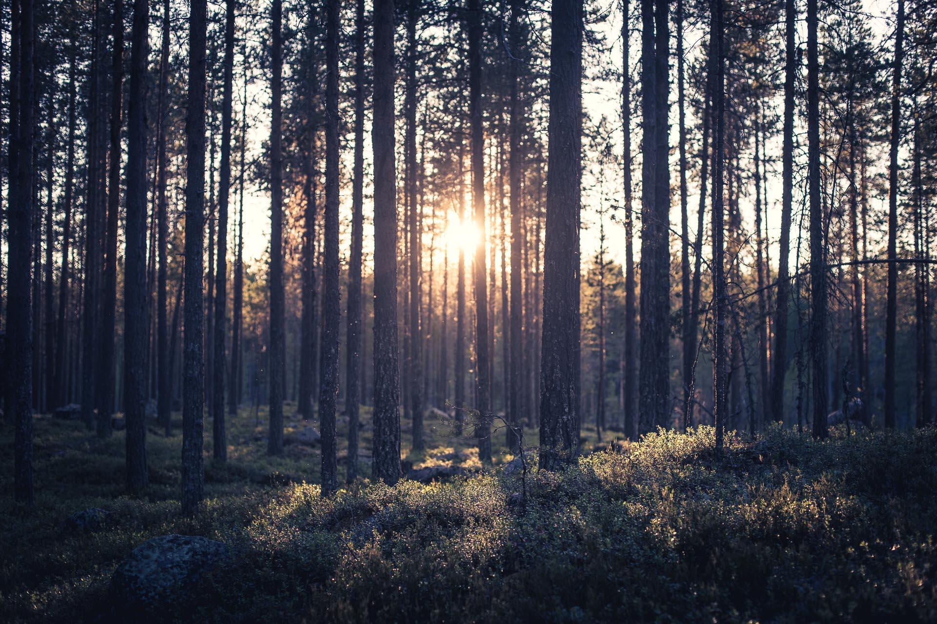 En junikväll i skogen